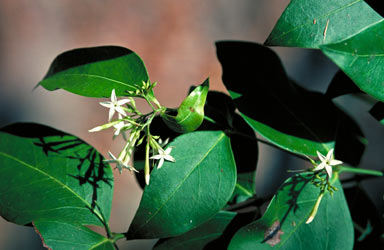 APII jpeg image of Carissa laxiflora  © contact APII