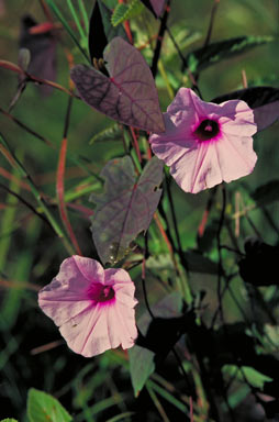 APII jpeg image of Ipomoea gracilis  © contact APII