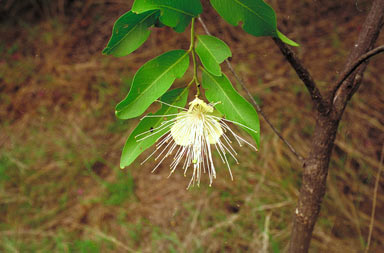 APII jpeg image of Capparis sp. Forty Mile Scrub (B.Hyland 3883RFK)  © contact APII