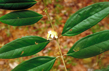 APII jpeg image of Rhodomyrtus sericea  © contact APII