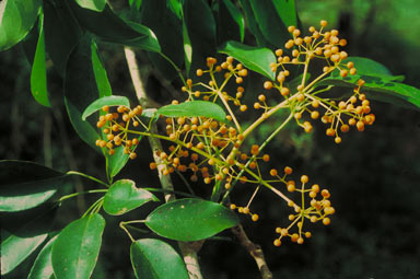 APII jpeg image of Schefflera elliptica  © contact APII