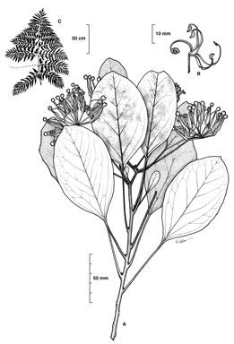 APII jpeg image of Stenocarpus cryptocarpus  © contact APII