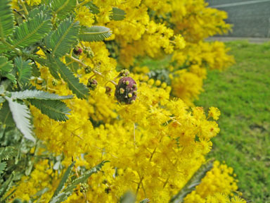 APII jpeg image of Acacia baileyana  © contact APII