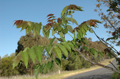 APII jpeg image of Ailanthus altissima  © contact APII