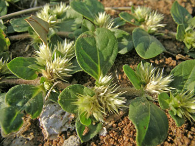 APII jpeg image of Alternanthera pungens  © contact APII