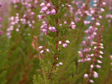 APII jpeg image of Calluna vulgaris  © contact APII
