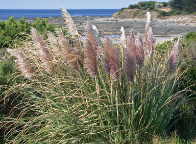 APII jpeg image of Cortaderia sp.  © contact APII