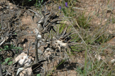 APII jpeg image of Datura ferox  © contact APII