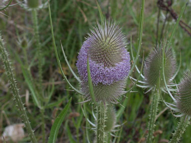 APII jpeg image of Dipsacus fullonum  © contact APII