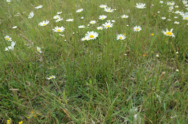 APII jpeg image of Leucanthemum vulgare  © contact APII