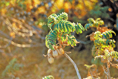 APII jpeg image of Melianthus comosus  © contact APII