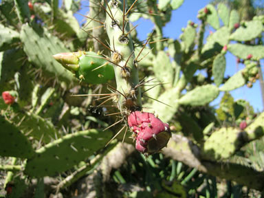 APII jpeg image of Opuntia elatior  © contact APII