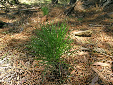 APII jpeg image of Pinus radiata  © contact APII