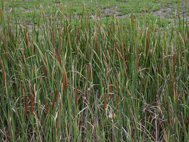 APII jpeg image of Typha domingensis  © contact APII