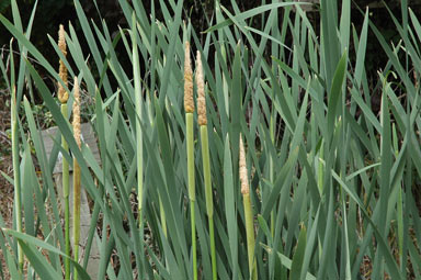 APII jpeg image of Typha latifolia  © contact APII
