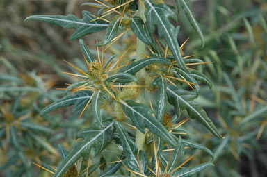 APII jpeg image of Xanthium spinosum  © contact APII