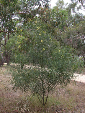 APII jpeg image of Acacia retinodes  © contact APII