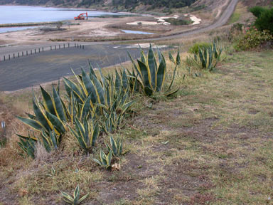 APII jpeg image of Agave americana  © contact APII