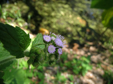 APII jpeg image of Ageratum houstonianum  © contact APII
