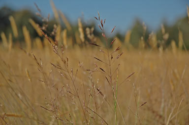 APII jpeg image of Agrostis capillaris  © contact APII