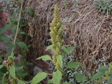 APII jpeg image of Amaranthus retroflexus  © contact APII