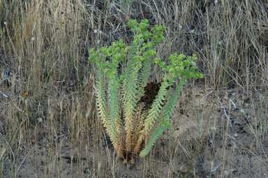 APII jpeg image of Euphorbia paralias  © contact APII