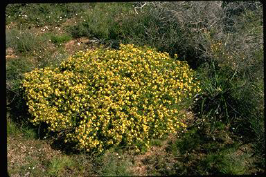 APII jpeg image of Calytrix depressa  © contact APII