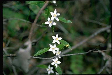 APII jpeg image of Crowea angustifolia var. platyphylla  © contact APII