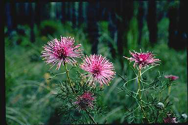 APII jpeg image of Isopogon crithmifolius  © contact APII
