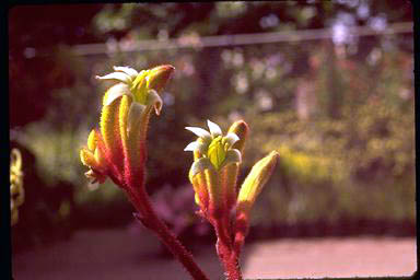 APII jpeg image of Anigozanthos 'Sue Dixon'  © contact APII
