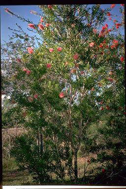 APII jpeg image of Callistemon 'Country Sprite'  © contact APII