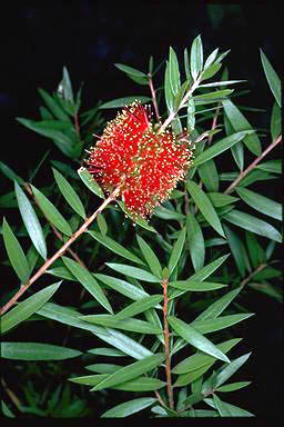 APII jpeg image of Callistemon 'Ngungun Red'  © contact APII