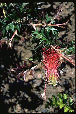 APII jpeg image of Grevillea 'Copper Crest'  © contact APII
