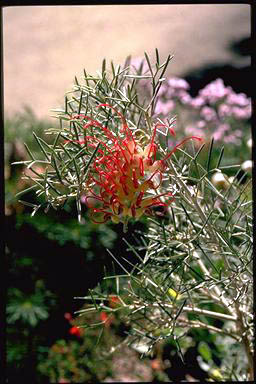 APII jpeg image of Grevillea 'Flame 'n Beauty'  © contact APII