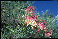 Grevillea 'Mason's Hybrid' - click for larger image