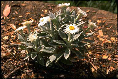 APII jpeg image of Helichrysum elatum 'Helping Hand'  © contact APII
