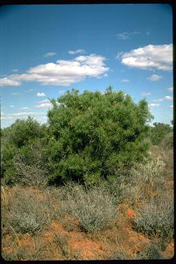 APII jpeg image of Acacia carneorum  © contact APII