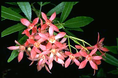 APII jpeg image of Ceratopetalum gummiferum  © contact APII