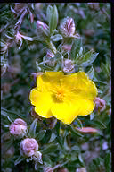 Hibbertia kaputarensis - click for larger image