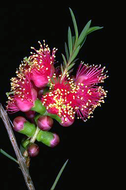 APII jpeg image of Melaleuca fulgens 'Hot Pink'  © contact APII