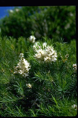 APII jpeg image of Melaleuca alternifolia  © contact APII