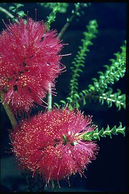 APII jpeg image of Melaleuca coccinea  © contact APII