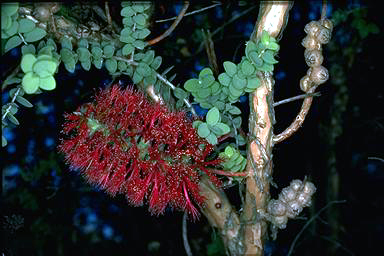 APII jpeg image of Melaleuca elliptica  © contact APII