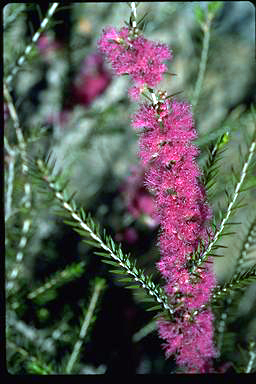 APII jpeg image of Melaleuca wilsonii  © contact APII