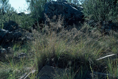 APII jpeg image of Eragrostis curvula  © contact APII