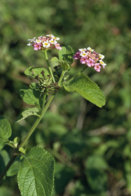 APII jpeg image of Lantana camara  © contact APII