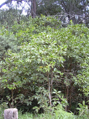 APII jpeg image of Psidium cattleyanum  © contact APII
