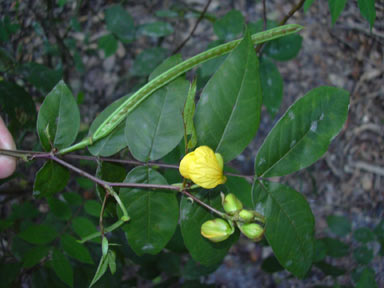 APII jpeg image of Senna occidentalis  © contact APII