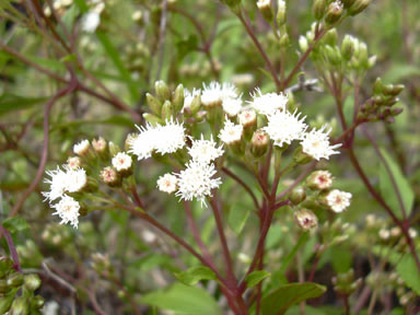 APII jpeg image of Ageratina riparia  © contact APII
