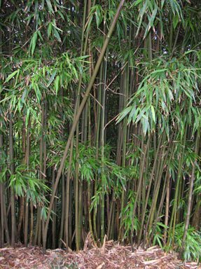 APII jpeg image of Phyllostachys nigra  © contact APII